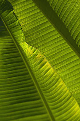 Detail Of Palm Tree Barbados Print by Axiom Photographic