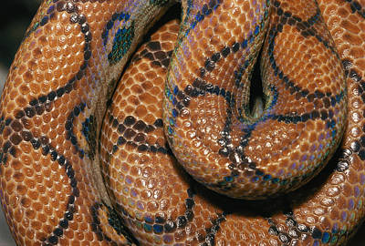 Boa Constrictor Photograph - Detail Of The Scales And Design by Darlyne A. Murawski