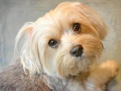 Silky Terrier Photograph - Devotion by Fraida Gutovich