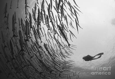 Diver And Schooling Blackfin Barracuda Print by Steve Jones