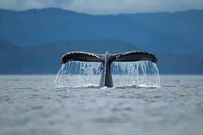 Diving Humpback Whale, Alaska Print by Paul Souders