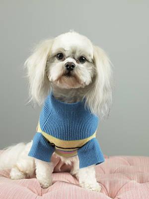 Dog In Sweater Sitting On Cushion Print by Ryan McVay