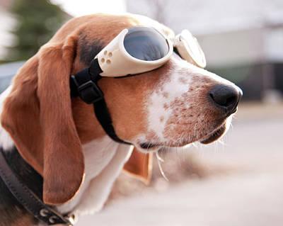 Dog Wearing Goggles Print by Darren Boucher