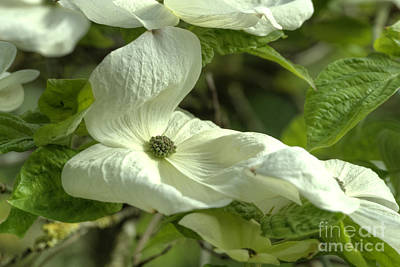 Dogwood Print by Rod Wiens