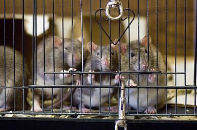 Domestic Rats At The Sutton Avian Print by Joel Sartore