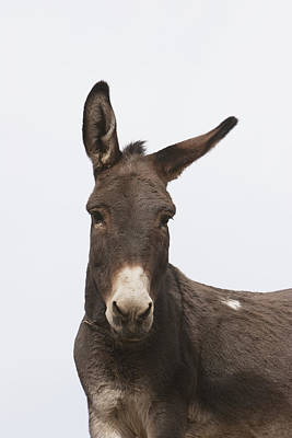 Donkey At The Hajigak Pass, Vardak Print by Peter Langer