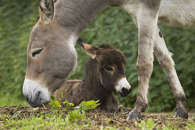 Baby Donkey Photograph - Donkey Equus Asinus Adult With Foal by Konrad Wothe