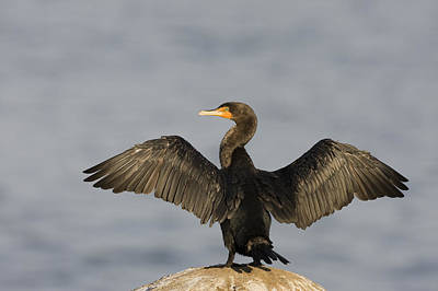 Double Crested Cormorant Drying Wings Print by Sebastian Kennerknecht