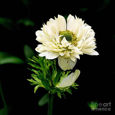Leaves Photograph - Double Poppy Anemone  2 by Tanya  Searcy