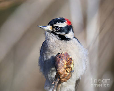 With Red Photograph - Downy Woodpecker by Sharon Talson