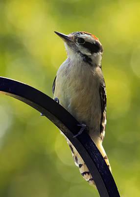 Hairy Woodpecker Photograph - Downy Woodpecker Up Close by Bill Tiepelman