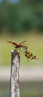 Dragon Fly Love Print by Kelly Rader