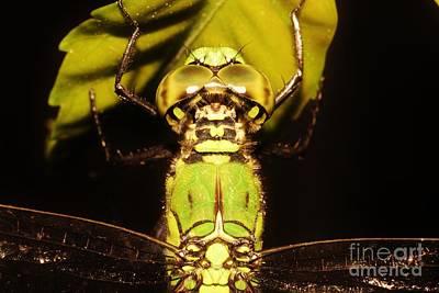 Dragonfly Closeup Print by Lynda Dawson-Youngclaus