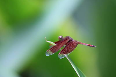 Photograph - Dragonfly by Gonca Yengin