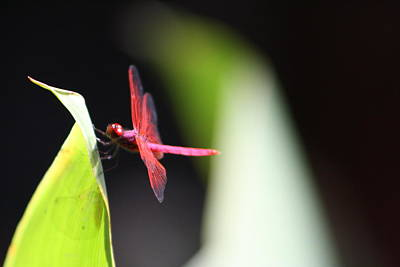 Photograph - Dragonfly II by Gonca Yengin