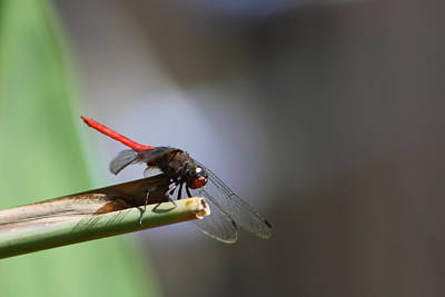 Photograph - Dragonfly IIi by Gonca Yengin