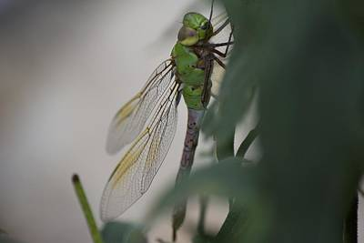 Dragonfly Print by Michel DesRoches
