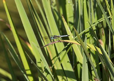 Dragonfly Print by Ron Sgrignuoli
