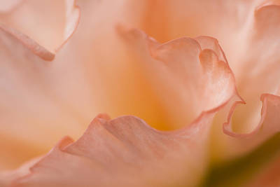 Gardening Photograph - Dreaming In Peach by Priya Ghose