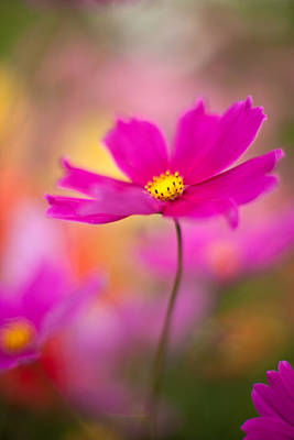 Floral Photograph - Dreamy Cosmos by Mike Reid