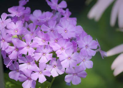 Dreamy Lavender Phlox Print by Teresa Mucha