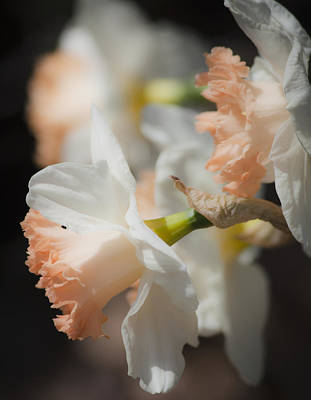 Flower Photograph - Dreamy Peach Daffodils by Teresa Mucha