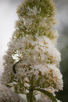 Flower Photograph - Dreamy White Butterfly Bush Bloom by Teresa Mucha