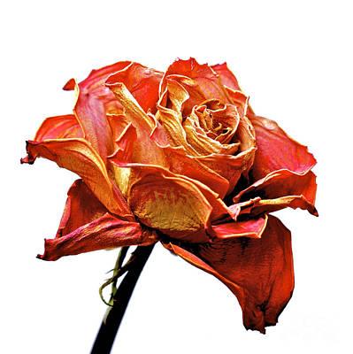 Dried Rose Print by Bernard Jaubert