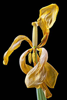 Dried Tulip Print by Garry Gay