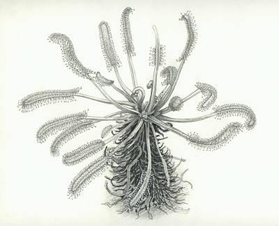 Drosera Capensis Print by Scott Bennett