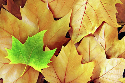 Dry Fall Leaves Print by Carlos Caetano