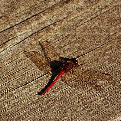 Dinosaur Photograph - Drying Red  Dragon Fly by LeeAnn McLaneGoetz McLaneGoetzStudioLLCcom