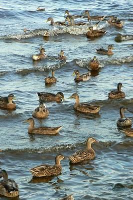 Duck Convention Print by Seiko Ti