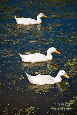 Duck Photograph - Duck Races by John Buxton
