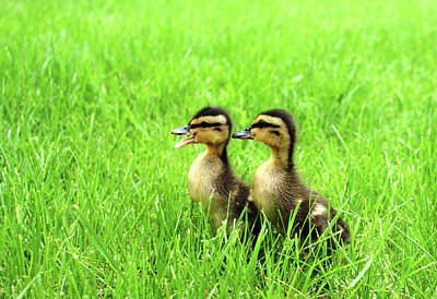 Duckling Chatter Original by Geralyn Palmer