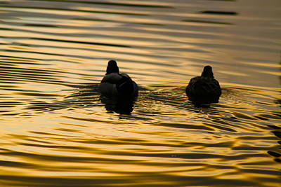 Cardiff Photograph - Ducks Swimming At Sunset by Geraint Rowland