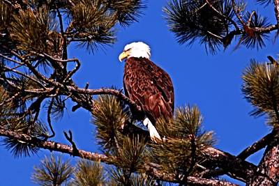 Eagle On Guard Print by Don Mann
