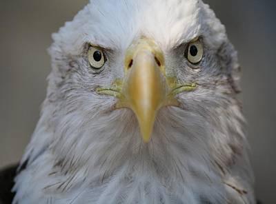 Eagle Print by Paulette Thomas