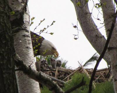 Eaglets Feeding With Mother Eagle Print by Mitch Spillane