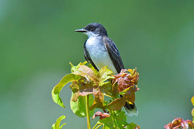 Eastern Kingbird Original by Alan Lenk