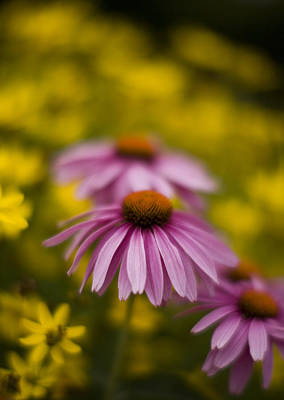 Echinacea Dreamy Print by Mike Reid