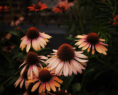 Coneflowers Photograph - Echinacea Flowers Along The High Line Park - New York City by Vivienne Gucwa