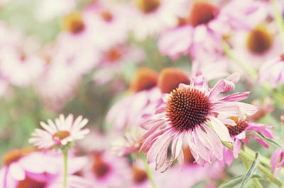 Echinacea In Sunlight, Close Up Print by Leentje photography by Helaine Weide