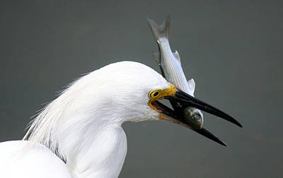 Egret With His Catch Of The Day Print by Paulette Thomas
