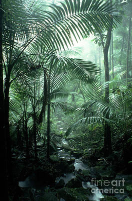 El Yunque National Forest Palms And Stream Print by Thomas R Fletcher