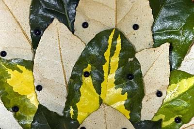Elaeagnus Pungens 'maculata' Leaves Print by Dr Keith Wheeler