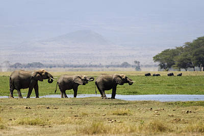 Elephants At The Watering Hole Print by Marion McCristall