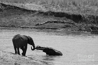 Black And White Photograph - Elephants Playing In Water by Darcy Michaelchuk