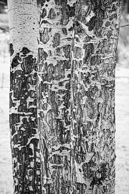 Gnaw Photograph - Elk Gnawed Horning Aspen Trees Bw Fine Art Print  by James BO  Insogna