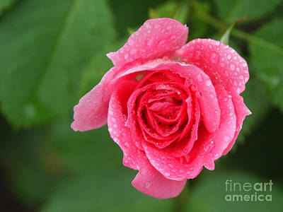 English Rose Print by Bonnie Sue Rauch and Photo Researchers